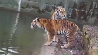 National Geographic - Tiger Mating Period