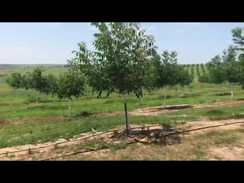 Sarıyar Walnut Orchard
