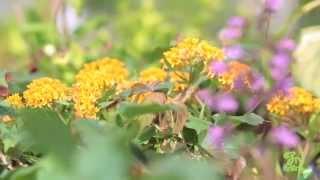 Growing Milkweed for Monarch Butterflies