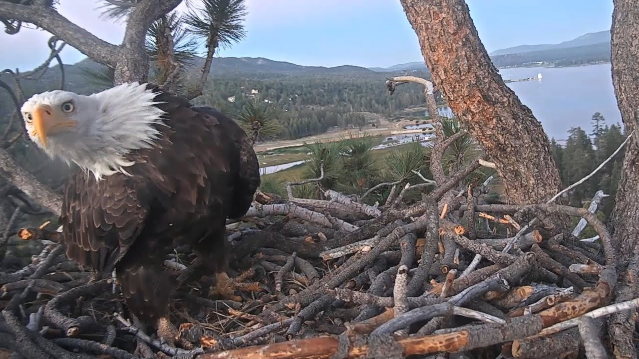 Big Bear Eagles 🦅 Gray Squirrel Scratches An Itch 🦅 Shadow Inspects The Building 🌲🌙 2020-07-08