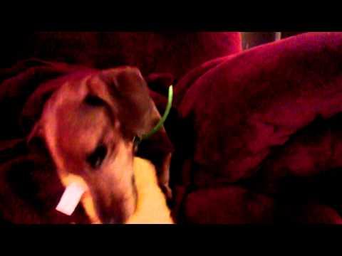 Peanut: Adoptable Dachshund at Furever Dachshund Rescue