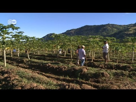 Fiji: Peer Control of Papaya Farms | Global 3000