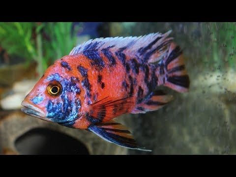Evil Fish! Stopping Aggression In Your Aquarium! Fish Fighting!