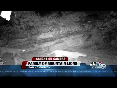 CAUGHT ON CAMERA: Mountain lions spotted at Sabino Canyon