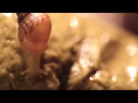 Amazing close up african snail (Achatina fulica)