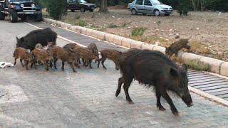 Şehir merkezine inen yaban domuzları!Wild Boars landed in town..!