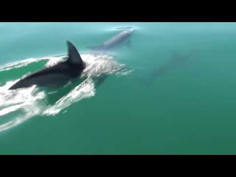 School of Dolphins in Whyalla South Australia