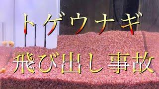 【アクアリウム 熱帯魚】トゲウナギ君飛び出し オーバーフロー水槽メンテ