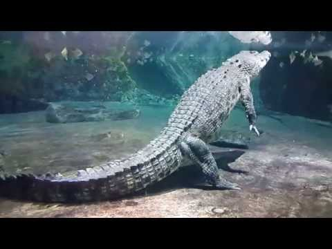 King Crocodile at Dubai Mall Underwater Zoo. 06.02.2015