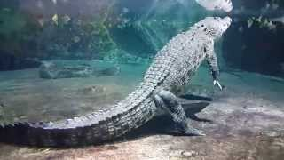 King Crocodile at Dubai Mall Underwater Zoo. 06.02.2015