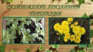 Размножение хризантем черенкованием(, 2015-08-29T13:47:50.000Z)
