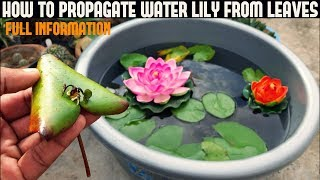 How To Grow Water Lily From Leaf ( With Updates )