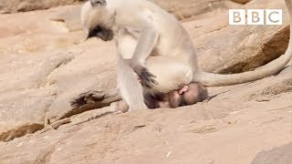 A young monkey's first experience baby sitting! 🤦😱| Life Story - BBC