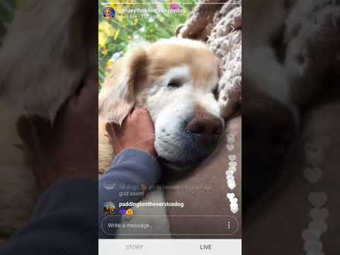 Smiley, The Blind Therapy Dog, Last Day (13 October 2017)