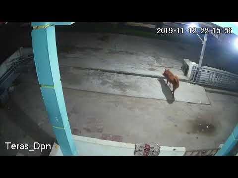 Merinding, Anjing mencuri, ini akibatnya, tonton sampai habis, part 1