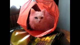Кошка на вынос - разноглазая ангорка в пакете