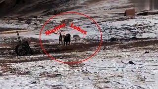 Dois Mastim tibetanos enfrentam Dois Lobos