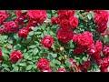 गुलाब में फूल आने रुक गए हैं तो करें यह उपाय,anvesha,s creativity Whatsapp Status Video Download Free