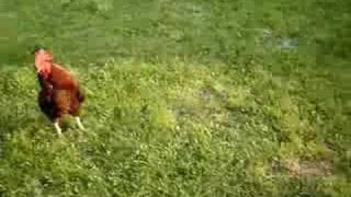 Zabawy mojego psa z kogutem:P
