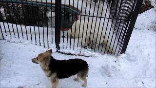 Белый медвежонок Ростик и  дружба с собакой .4.02.18г.