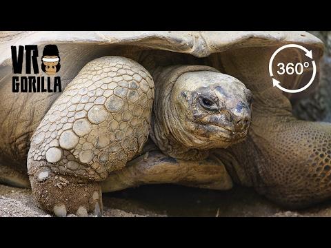 Giant Aldabra Tortoises (360 VR Video)