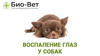 Воспаление глаз у собак. Ветеринарная клиника Био-Вет.