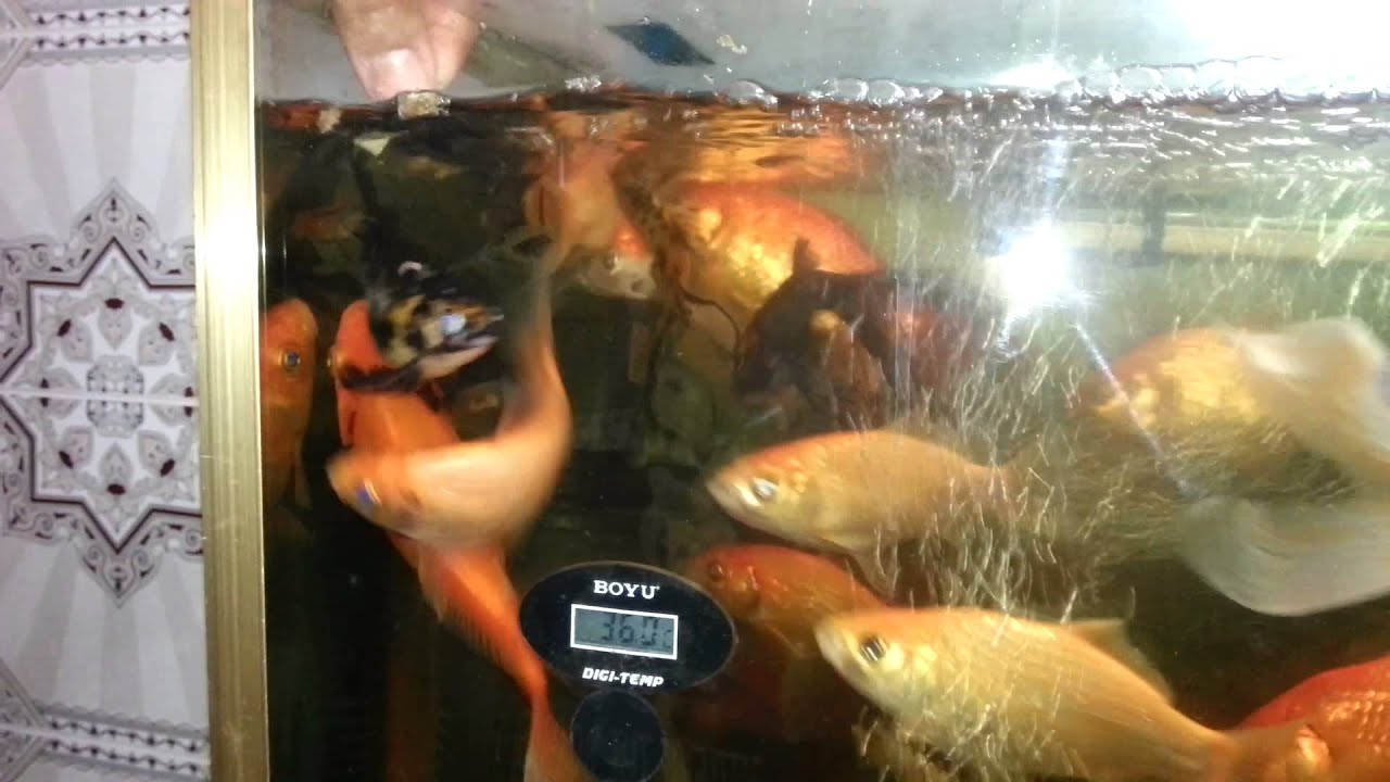 Aquarium poisson rouge youtube for Alimentation poisson rouge adulte