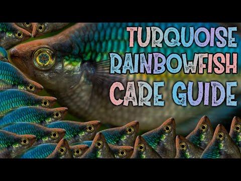 TURQUOISE RAINBOWFISH - SPECIES PROFILE