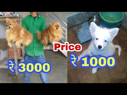Pomeranian dog price difference