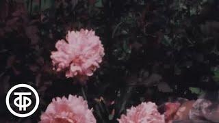 Наш сад. Пионы в саду (1981)