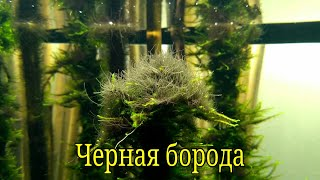 Черная борода в аквариуме