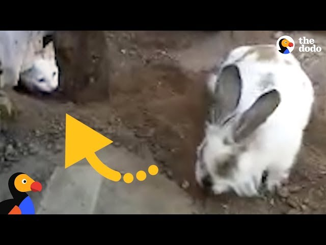 Very Determined Bunny Frees His Cat Friend | The Dodo