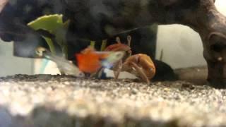 Fiddler Crab (Droid Turbo 4K)