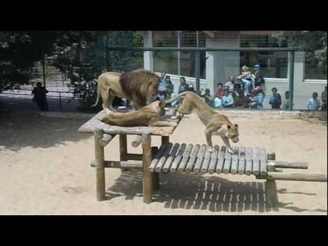 2 lions mating in Palmyre Zoo, France
