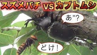 カブトムシの樹液に狙いをつけたオオスズメバチ thumbnail