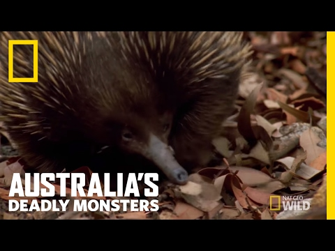 A Very Prickly Predator | Australia's Deadly Monsters