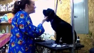 Grooming Gator - The Screamin' Cocker Spaniel