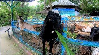 ヤギの餌やり,カオ・キャオ 動物園,Khao Kheow Open Zoo,Feeding,Goat,สวนสัตว์เปิดเขาเขียว, thumbnail