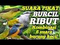Gambar cover SUARA PIKAT BURCIL RIBUT | KOMBINASI 6 SUARA BURUNG KECIL
