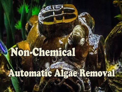 Brown Algae IN Your Aquarium Fish Tank How to Remove it Organically Nerite Snails