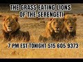 DATING RADIO : THE GRASS EATING LIONS OF THE SERENGETI 7 PM EST TONIGHT