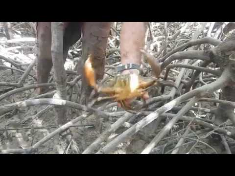 Mudcrabs and Mangroves in Darwin, Northern Territory Australia