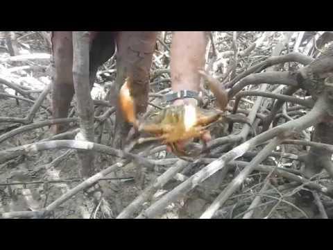 Mudcrabs And Mangroves In Darwin, Northern Territory Australia