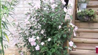 Fast Growing White Rose of Sharon