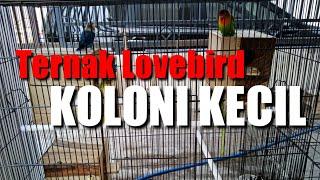 Ternak Lovebird Koloni Kandang Kotak