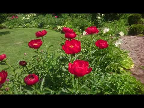 Paeonia Red Red Rose