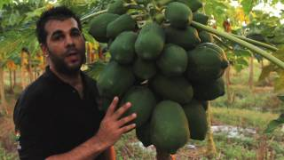 Papaya - Tropical Fruit Growers of South Florida