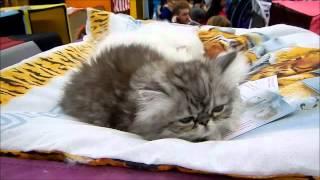 Cat expo - Кошачья выставка