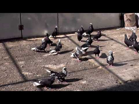 Macedonian Pigeons 18 - Prytanis
