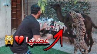 هجوم الفهد ( شيخه ) على الناقه الصغيره (سويره ) جبت العيد 😩💔